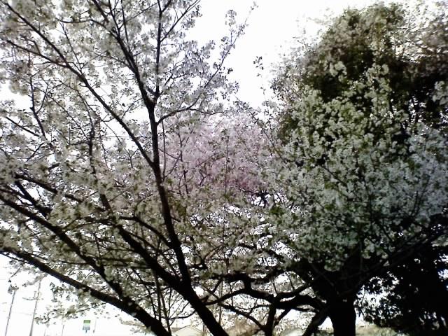 【桜便り】加茂川町ぎおん山